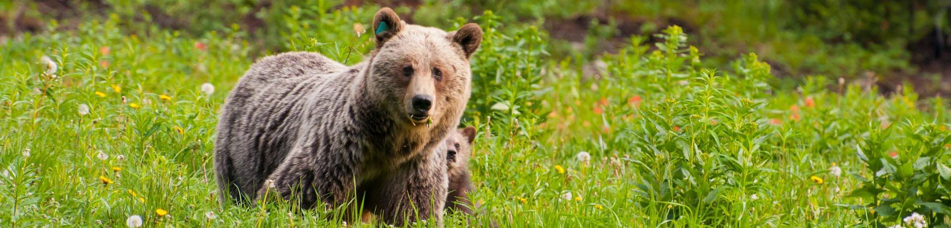 Protective looking mother brown bear with sub hiding behind