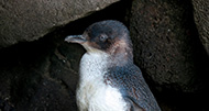 Philip Island Penguin